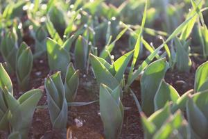 macro close up di germogli di piante verdi e piantine nel suolo