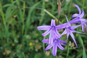 macro close up di fiori di giglio siberiano viola in primavera