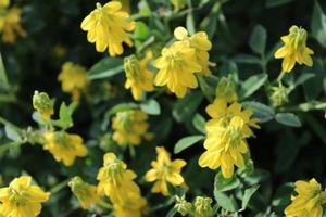 macro ravvicinata di un sottile trifoglio o trifolium micranthum con fiori gialli