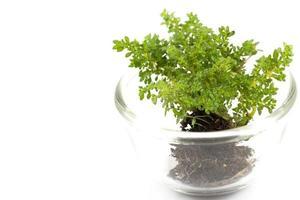 piccolo albero in una tazza di vetro su uno sfondo bianco foto