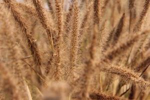 piante di campo secco erba marrone foto