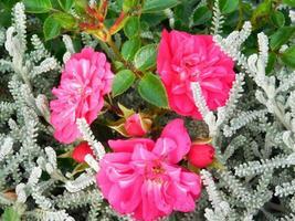 fiori rossi e arbusti in un giardino foto