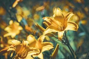 fiori gialli e boccioli di daylily foto