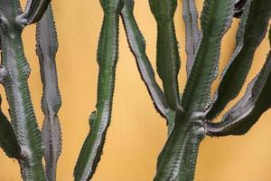 cactus vicino al muro foto