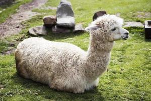 carino piccolo baby alpaca foto