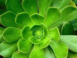 primo piano di succulente foto