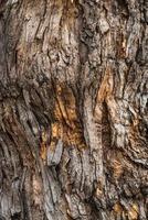struttura della corteccia di un albero di pagoda foto
