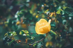 fiore giallo di un mini cespuglio di rose foto