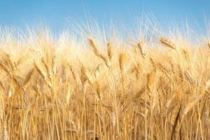 sfondo di grano giallo foto