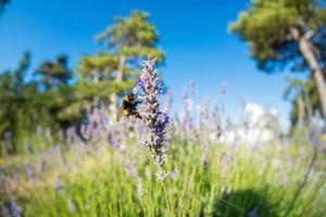 Bumble Bee su fiori di lavanda foto