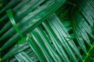 primo piano di foglie di palma verde foto