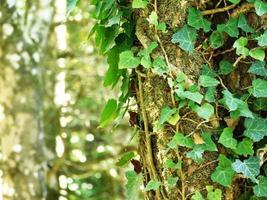 primo piano di edera su un tronco d'albero foto