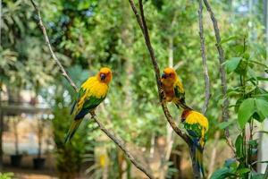 animale domestico dell'uccello del pappagallo foto