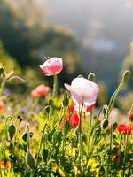 fiori di papavero e copia spazio foto