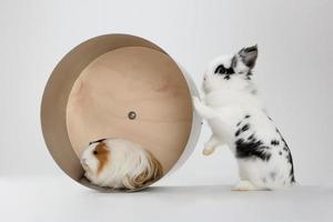 piccolo coniglio nano con cavia isolata on white