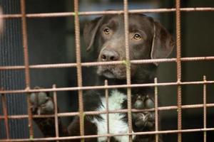 cane da laboratorio di cioccolato in un rifugio