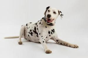 Felice cane dalmata sdraiato isolato su sfondo bianco in studio foto