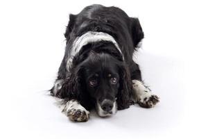 English Springer Spaniel cane sdraiato in studio isolato su uno sfondo bianco foto