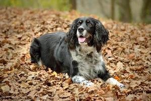 English Springer Spaniel giacente in foglie d'autunno