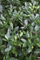 cespuglio verde con rugiada foto
