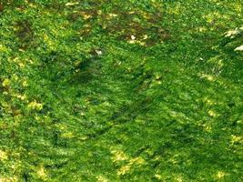 patch di alghe o alghe per texture o sfondo foto