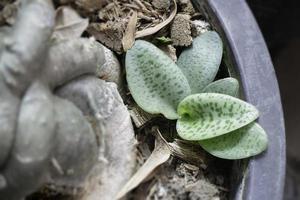 piante grasse nel giardino di casa foto