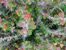 macchia di piante spinose o rovi foto