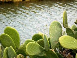 foglie di cactus rotonde vicino al ruscello o al fiume foto