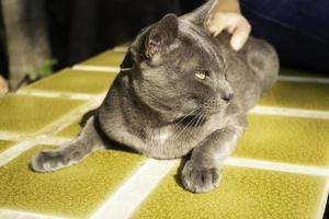gatto blu russo sulla piastrella