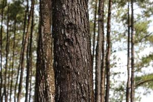 primo piano di un tronco di albero di pino foto