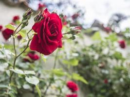 vista laterale di una rosa rossa in un giardino foto