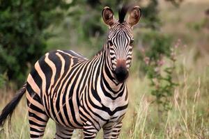 zebra in Ruanda foto