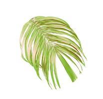 foglie verdi di una palma isolato su uno sfondo bianco foto