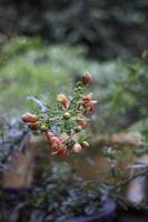 bellissimo fiore di melograno rosso su un cespuglio foto