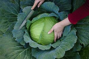 primo piano delle mani femminili la raccolta di una testa di cavolo cappuccio verde fresco che cresce in un campo di fattoria foto