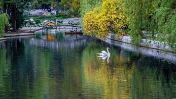paesaggio con cigno in un lago accanto in un parco alberato a new athos, abkhazia, georgia foto