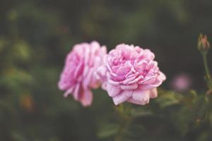 rosa rosa in giardino, brillante luce del tramonto, sfondo floreale