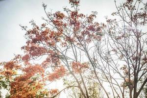 la luce del sole splende attraverso un albero di fiamma, royal poinciana foto