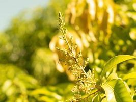 soft focus close-up di mango fiore in fiore foto