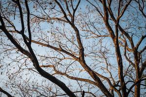 ramo di un albero sul cielo invernale blu foto