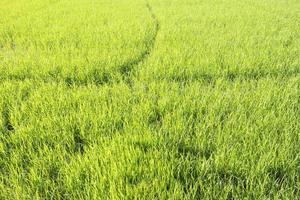 sfondo di campo di riso verde fresco foto