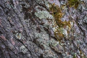 tessitura della corteccia di un vecchio albero di pino foto