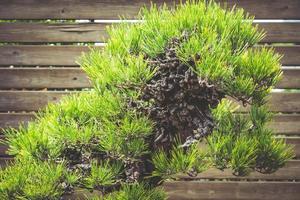 bonsai di pino nero giapponese foto