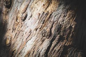 trama della corteccia di un vecchio albero di eucalipto foto