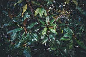 foglie verdi di un albero di magnolia foto