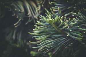 foglie di aghi di pino dell'isola di norfolk foto