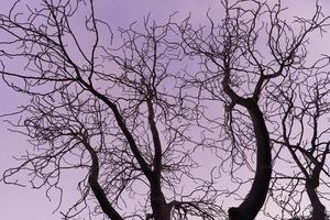 rami spogli di un albero di ippocastano al tramonto viola foto