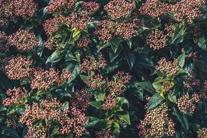 boccioli di fiori di un arbusto di viburnum tinus foto