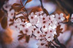 fiori di susino all'inizio della primavera foto
