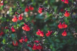 piccoli fiori rossi di salvia foto